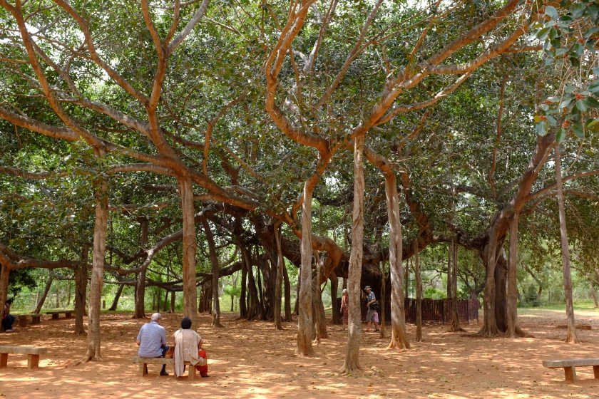 Banyan Tree at the heart of Auroville in the grounds to the Matrimandir